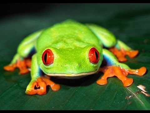 Red-Eyed Tree Frog Care - YouTube