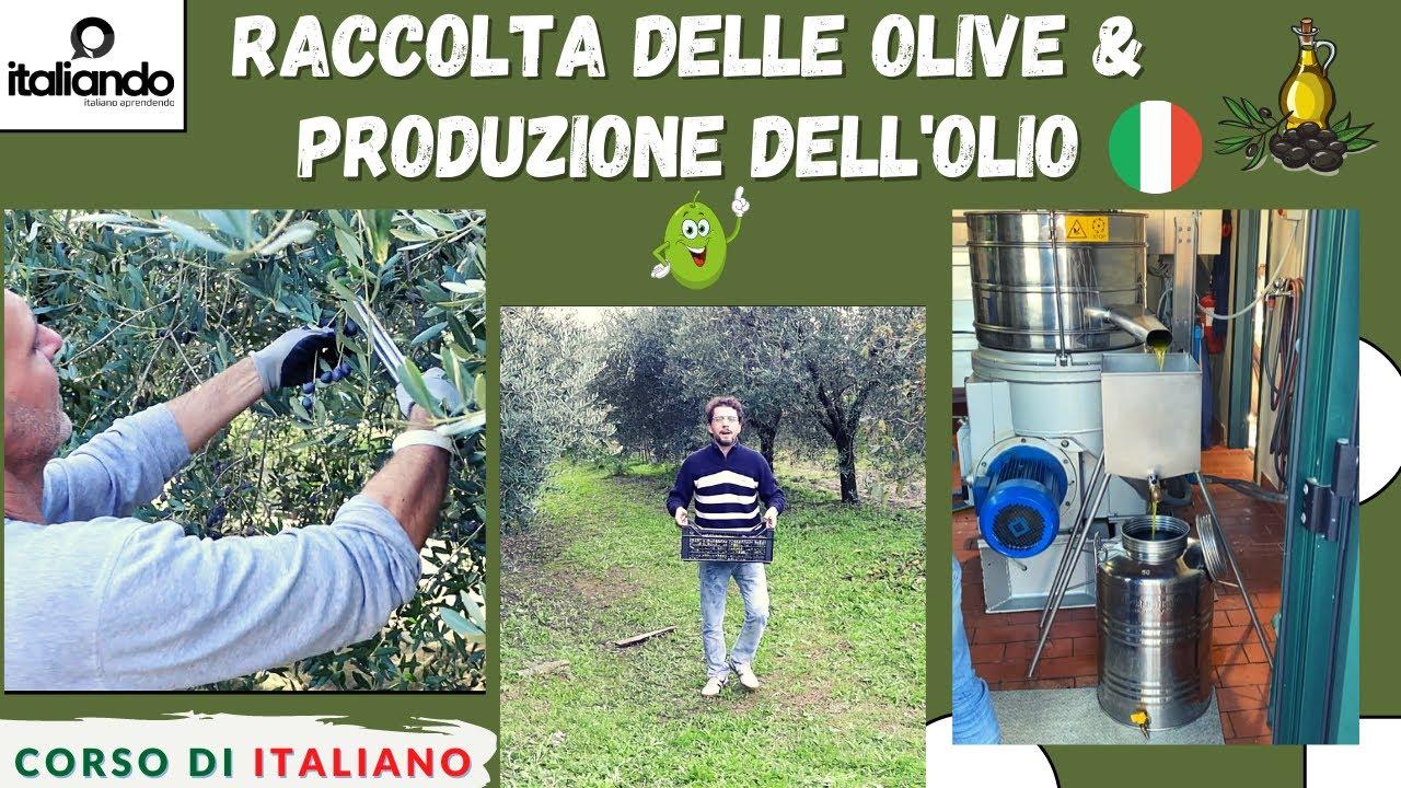 Raccolta delle olive e Produzione dell'olio d'oliva (SUB ITA) Corso di italiano Curso de italiano