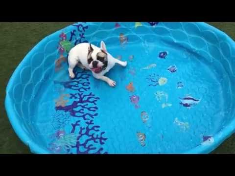French Bulldogs Are Ready To Swim Despite All The Obstacles!