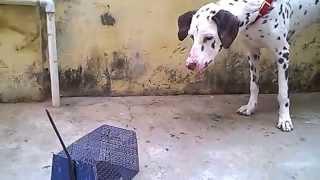 Dalmatian Barking Funny