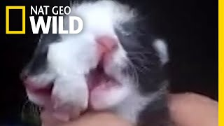 Why Does This Kitten Have Two Faces | Nat Geo Wild