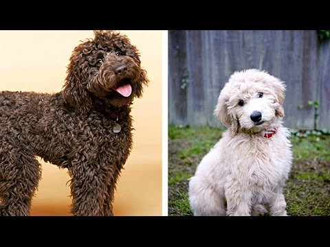 Labradoodle vs Goldendoodle Funny Videos - Similarities and Differences