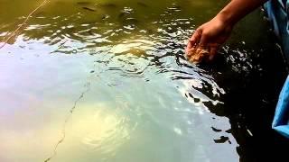 Pakan Ikan dari Pohon Pisang