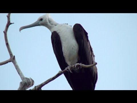 Magnificent Frigatebirds of the Caribbean - YouTube HD