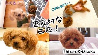 食べることに命を懸けている姉と、立ち回りが上手い弟! トイプードルのTaruto&Rasuku
