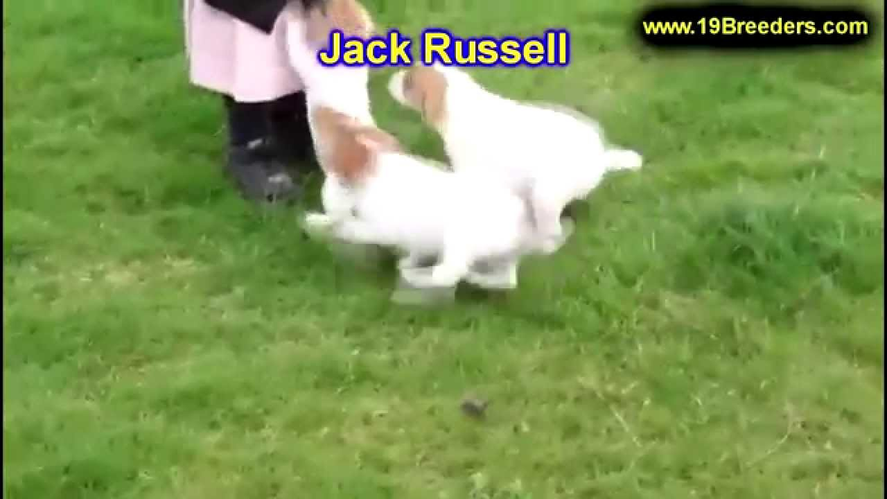 Jack Russell, Puppies, Dogs, For Sale, In Chicago ...