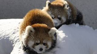 雪で遊ぶレッサーパンダ〜Red Panda playing in the snow thumbnail