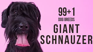 Giant Schnauzer / 99+1 Dog Breeds