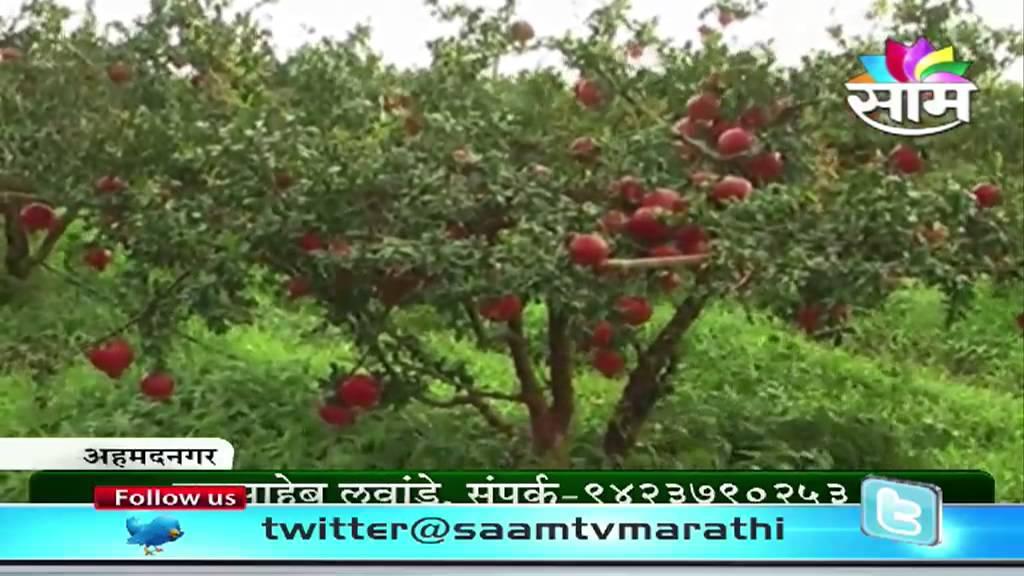 Pomegrante Fruit Garden Success Story In Ahmednagar. Saam Marathi