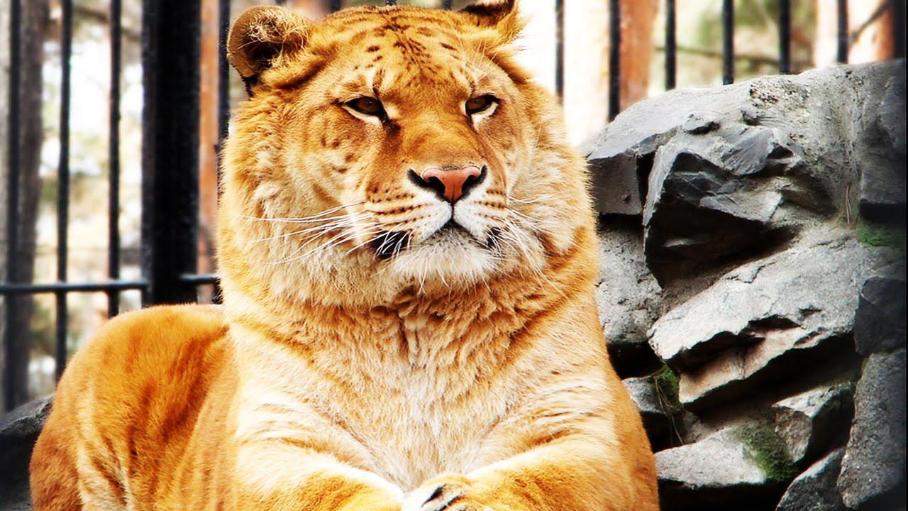 тобою фото лигр и тигон будут кушать друзья