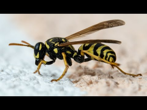 Playing Russian Roulette with Wasps