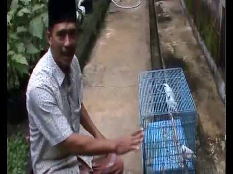 Harga Burung Jalak Bali Selangit, Ayo Beternak