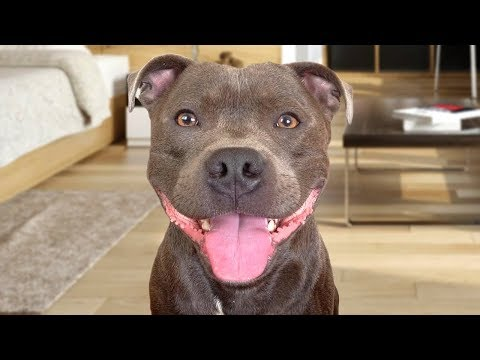 Funny American Staffordshire Terrier Videos