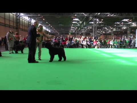 Puppy Bitch, Crufts 2016, Bouvier des Flandres, show