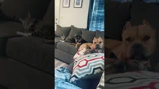 Американские Булли Приколы с животные смешно до слёз забавное и смешное видео с животными Питомец