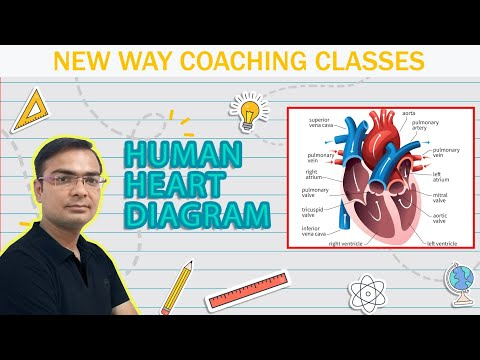 How To Draw Human Heart Diagram Youtube