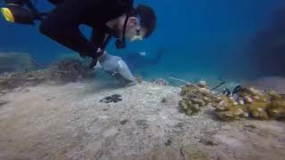 How to transplant corals using the coral gardening method by Jake Letori