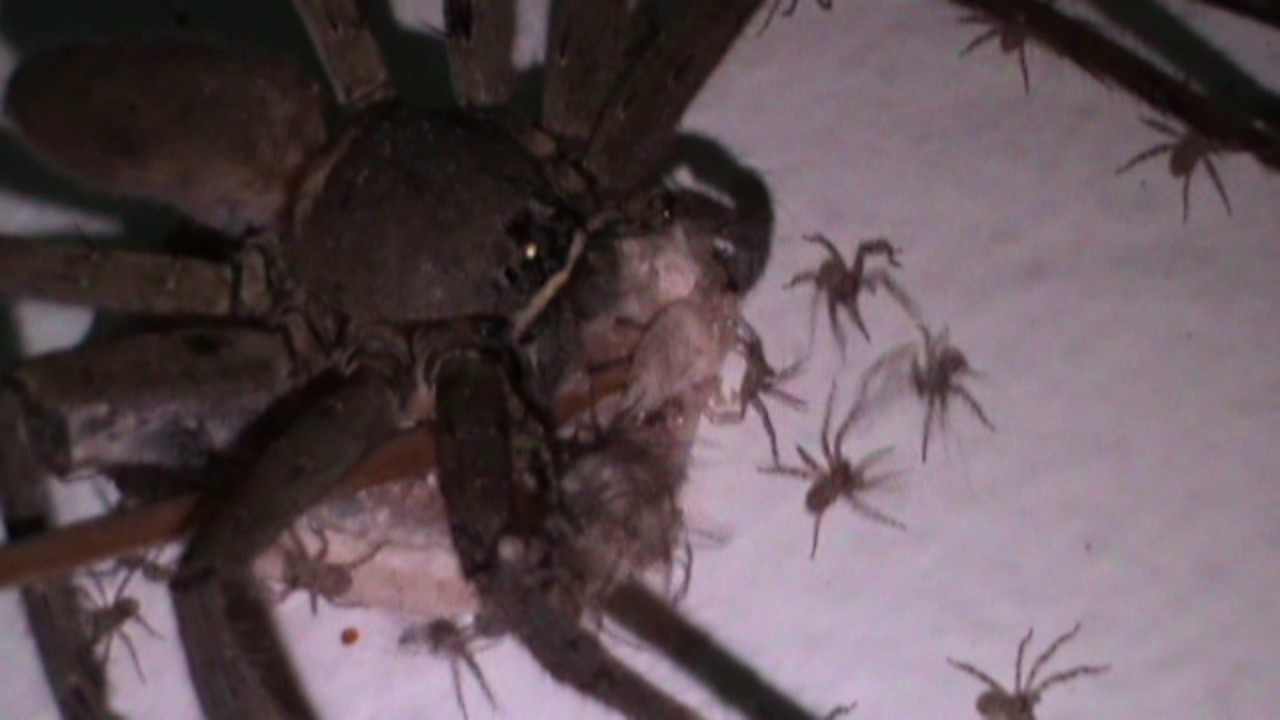 Giant Huntsman Spiders Baby Delivery then Hundreds of ...