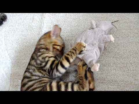 Moet the Toyger: Aquaintance with a New Friend