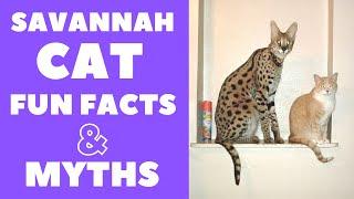 Savannah Cats 101 : Fun Facts & Myths