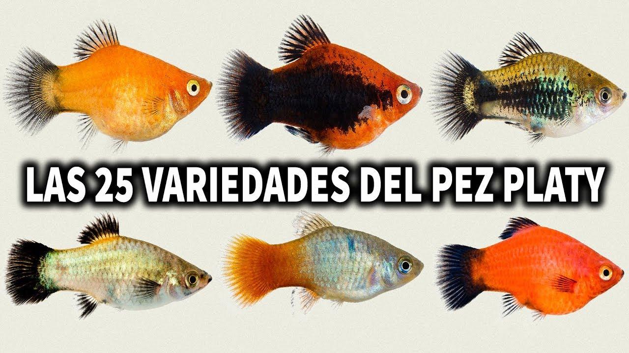 Las 25 variedades del pez platy por color acuarioslp for Variedad de peces