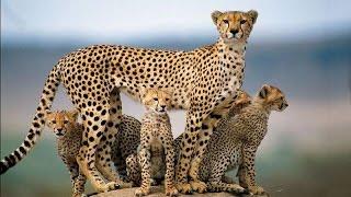 منوعات | الفهود.. على طريق الإنقراض