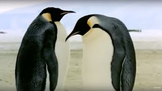 How An Egg Becomes A Baby Penguin | Animals: The Inside Story | BBC Earth