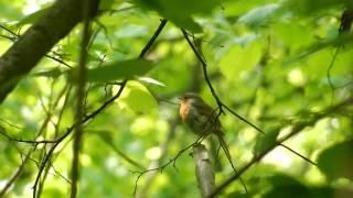 Звуки природы . Пение птиц . Малиновка