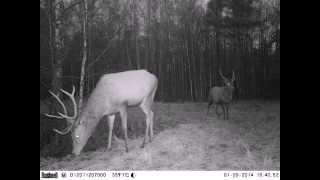 Спарринг чернобыльских оленей Red deer sparrings