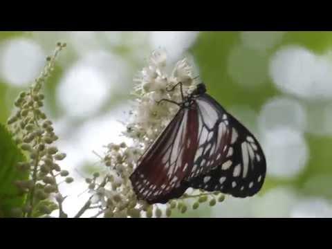 アサギマダラとリョウブの花