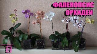 Орхидеи фаленопсис.(Орхидеи фаленопсис, что в переводе с греческого означает