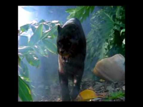 panther roar.mpg