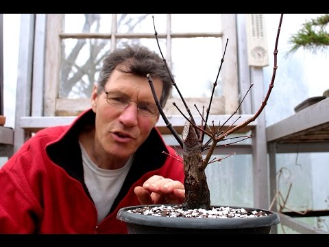 Repotting and root prunning a Japanese Maple, April 2016
