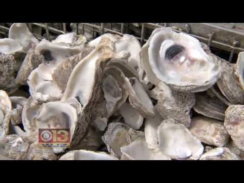 Scientists propose incredible uses for discarded oyster shells