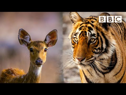 Mother Nature has an incredible trick to help this tiger 🐯😱 BBC