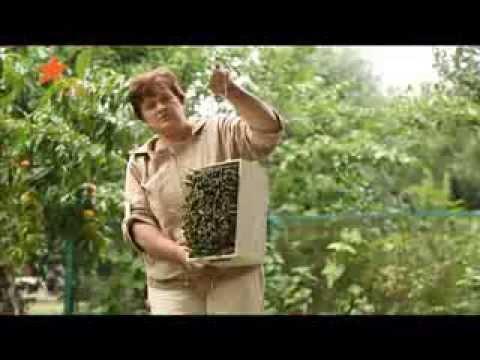 Растение рыжик выращивание, полезные свойства Как