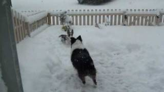Cardigan Welsh Corgi Puppy And Australian Shepherd Playing In The Snow