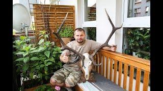 Wieniec jelenia - Obsadzanie wieńca - Mounting red deer dead head on a board