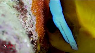 ANEMONE FISHES AND EGSS 2
