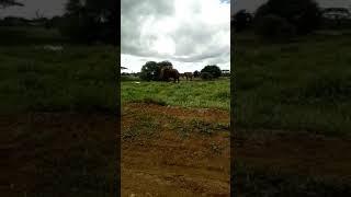 マサイ族がスマホで撮影した野良ゾウその2.