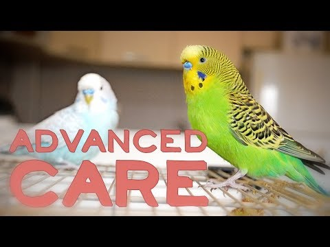 Budgie or Parakeet Care  Advanced Keeping Compilation