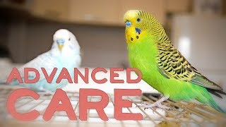 Budgie or Parakeet Care | Advanced Keeping Compilation