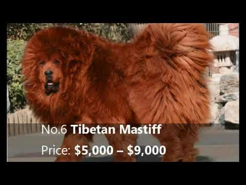 Top 10 Most Expensive Dog Breed In The World