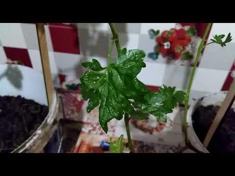 Саженцы винограда. Проявление трипсов на листах