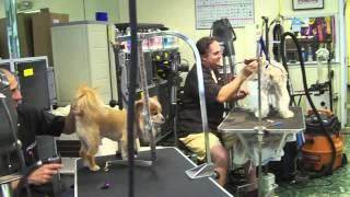 Labrador Retriever Saved By A Bandanna!