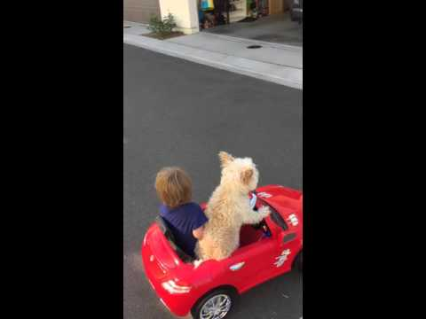 Dog drives little Boy in car.....Daisy Driving Oliver