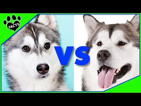 Alaskan Malamute vs Siberian Husky Which is Better? Dog vs Dog