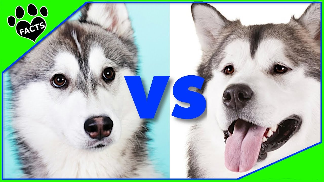Difference Between An Alaskan Malamute