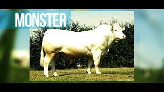 MONSTER - Un taureau de viande pour les vaches