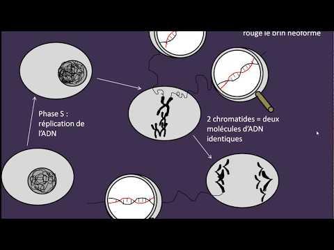 Cycle cellulaire et réplication de l'ADN